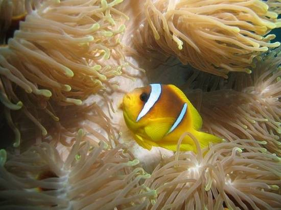 Bicinctus Clownfish - Tank Raised