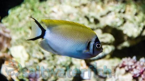 Masked Swallowtail Angelfish: Male