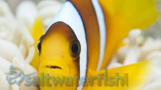 Two Banded Clownfish - Red Sea