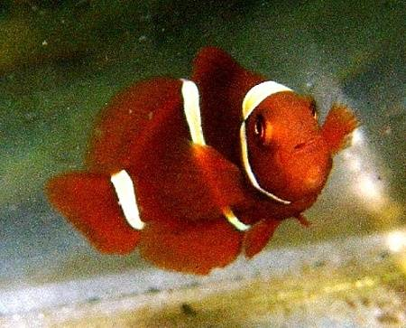 Gold Stripe Maroon Clownfish - Captive Bred
