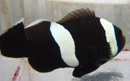 Saddleback Clownfish: Black