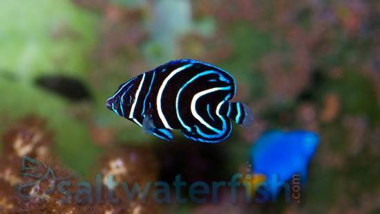 Koran Angelfish - Juvenile