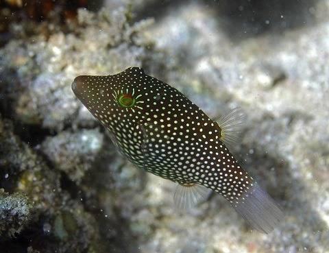 Honeycomb Puffer - Pacific
