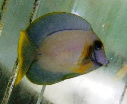 Yellow Mimic (Chocolate) Tang