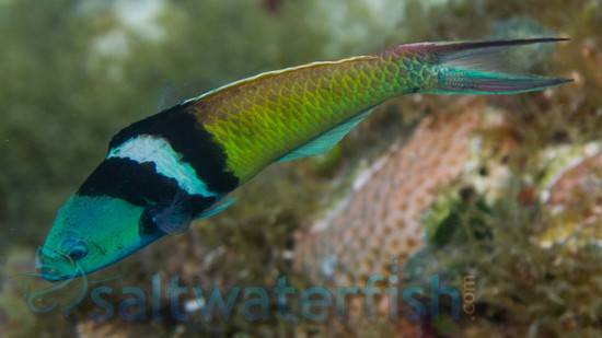 Bluehead Wrasse: Male