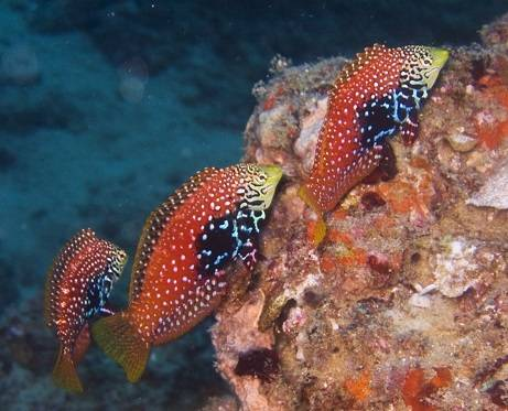 Divided Leopard Wrasse: Female