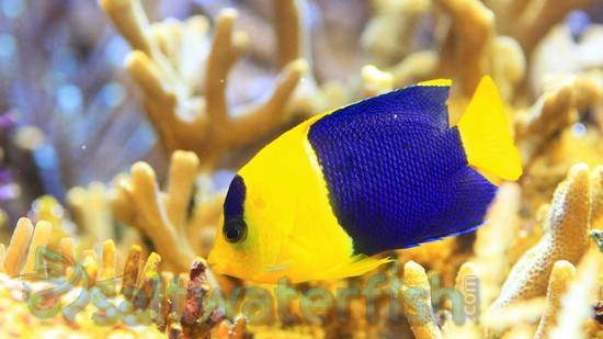 Bicolor Angelfish - Central Pacific