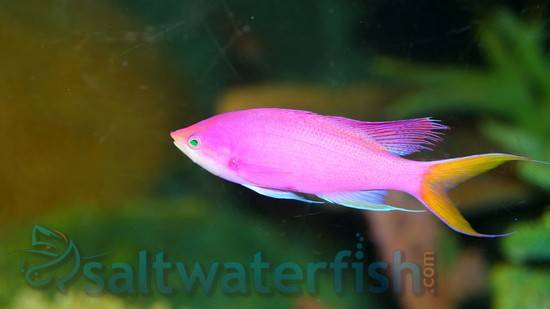 Purple Queen Anthias - Limit 1 Super Special