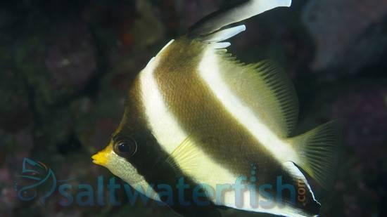 Threeband Heniochus (Pennant) - Central Pacific