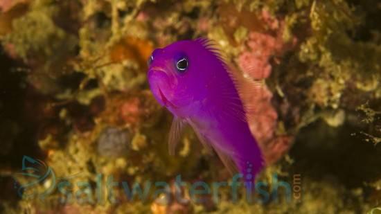 Purple Pseudochromis
