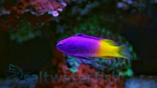 Royal Gramma Basslets Saltwater Fish