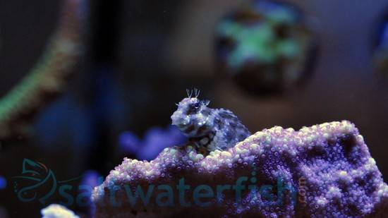 Lawnmower Blenny - Super Special