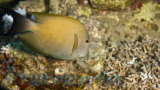 Striped Bristletooth Tang