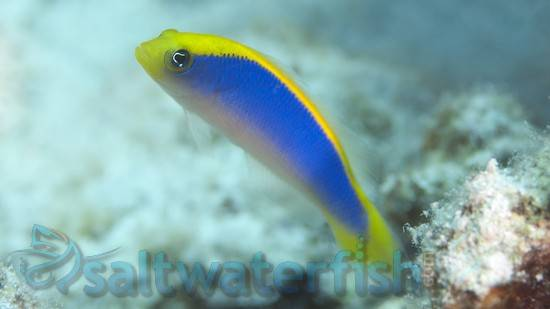 Sunrise Dottyback - Aquacultured