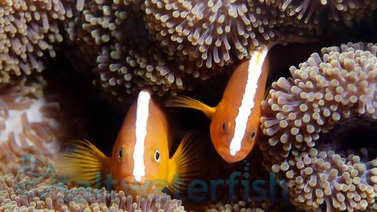 Orange Skunk Clownfish - Captive Bred