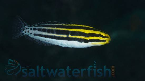 Striped Blenny - Eastern Asia