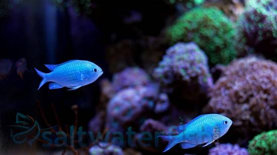 Green Chromis - Group of 3