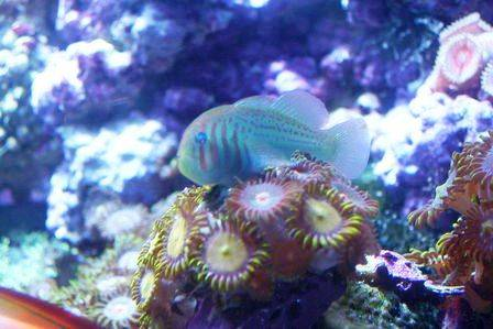 Clown Goby - Green