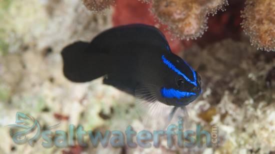 Springeri Pseudochromis - Captive Bred