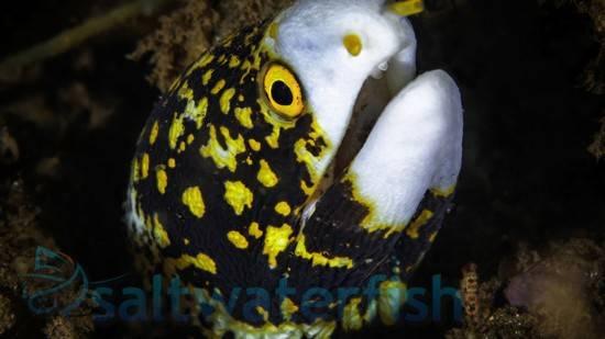 Snowflake Eel Eels Saltwater Fish
