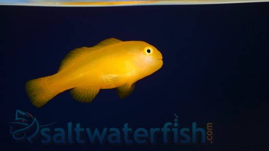 Yellow Clown Goby - Limit 1 $10 Deal