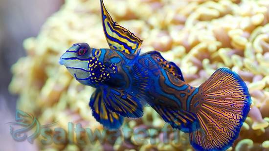 Green Mandarin Dragonet - Super Special Limit 1