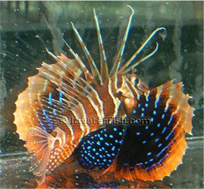 Bluefin Lionfish - Venomous