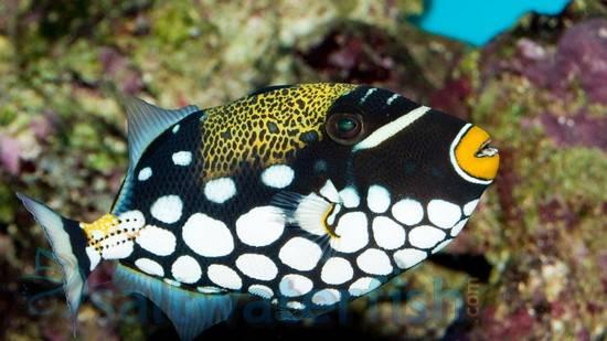 Clown Trigger Triggers Saltwater Fish