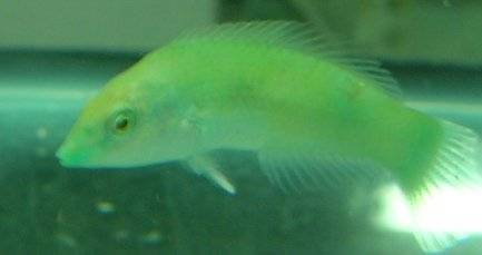 Green Coris Wrasse