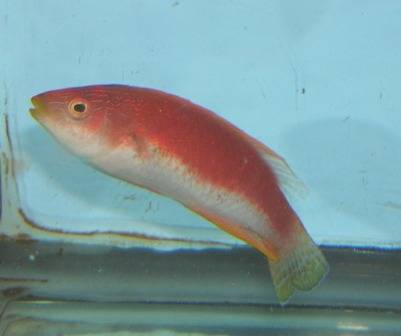 Whipfin Fairy Wrasse