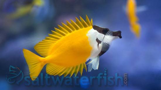 Foxface Rabbitfish Rabbitfish Saltwater Fish
