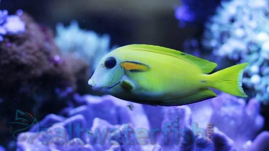 Orange Shoulder Tang: Juvenile - Central Pacific