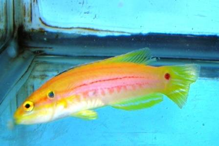 Twospot Candy Hogfish - South Asia