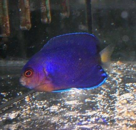 White Tailed Pygmy Angelfish