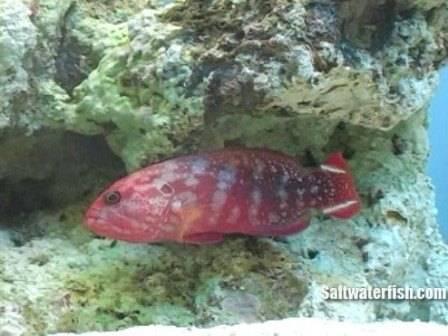 V Tail Grouper - Red