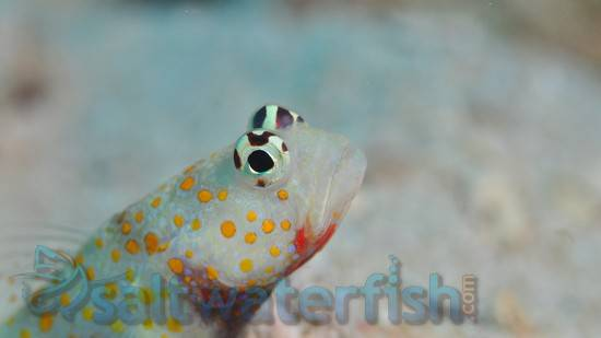 Orange Spotted Shrimpgoby