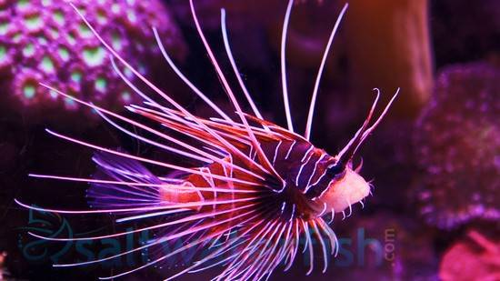 Radiata Lionfish - Venomous
