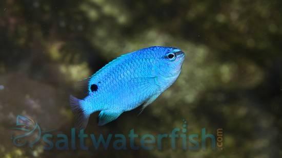 Blue Damsel Damsels Saltwater Fish