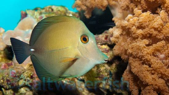 Scopas Tang Tangs Saltwater Fish