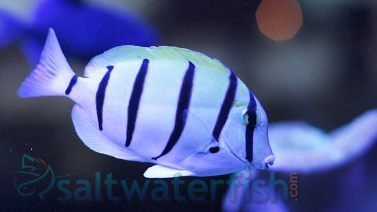Convict Tang - Central Pacific