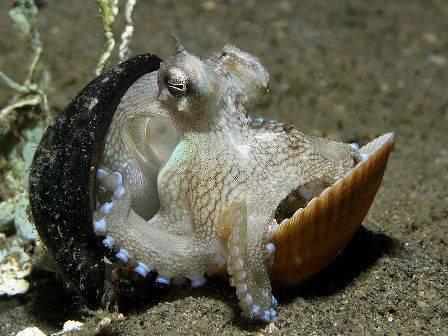 Octopus Brown Pacific Miscellaneous Invertebrates