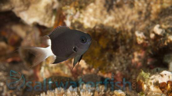 Bicolor Chromis Damsel - Fiji - MAC Certified