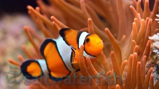 True Percula Clownfish - Captive Bred