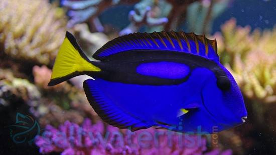 Blue Hippo Tang - Central Pacific