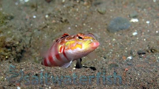 Red Spotted Sand Perch