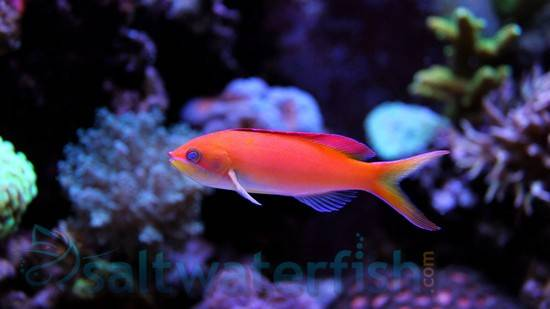 Dispar Anthias - Female
