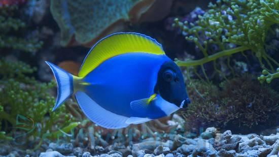 Powder Blue Tang - Africa