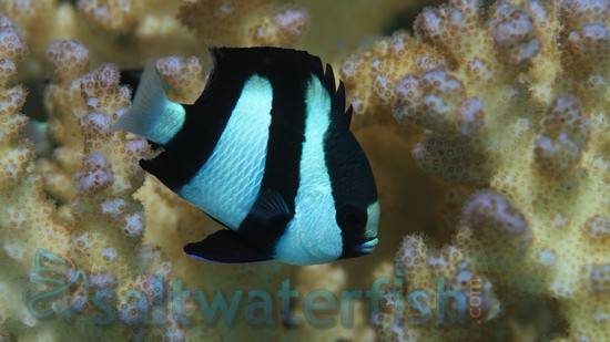 Adult size of saltwater damsel fish