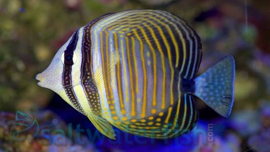 Desjardinii Sailfin Tang Tangs Saltwater Fish