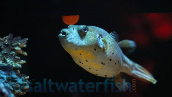 dogface puffer puffers saltwater fish